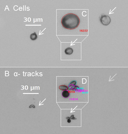 Microscope images of cells and emitted α-tracks