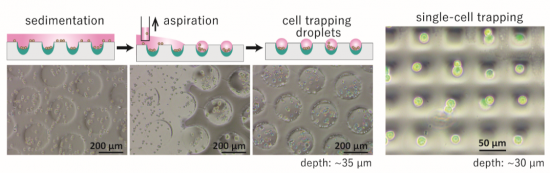 photo of Schematic illustration of the procedure for forming cell-trapping droplets, and micrographs demonstrating cell-trapping