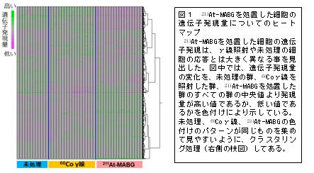 211At-Mabgを処置した細胞の遺伝子発現量についてのヒートマップ