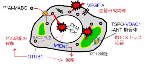 がん治療効果の予測と向上に役立つ4つの指標候補遺伝子の働き