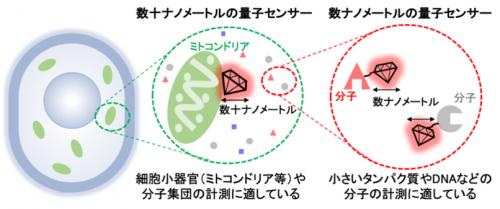 量子センサーの大きさと細胞内の計測対象
