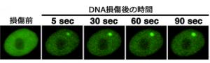DNA損傷部位にDNA修復タンパク質が集積する様子