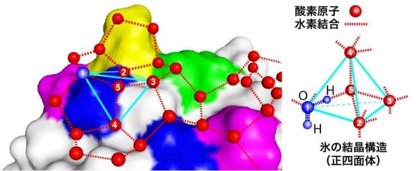 AFP表面に形成された氷結晶に似た水分子ネットワーク(正四面体を形成した5個の水分子を含む)
