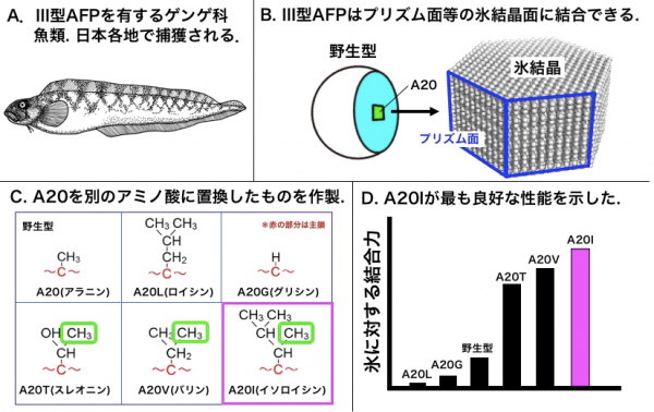 図1 ゲンゲ科魚類(A)から抽出される野生型Ⅲ型AFPの模式図(B)、野生型(A20)と今回作製した 各種変異体(C)と、それらの氷との結合力(D) Cの緑枠はγ位のメチル基を示す。