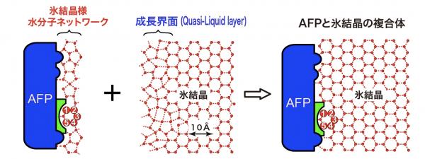 図2 AFP(A20I)の氷結晶結合モデル
