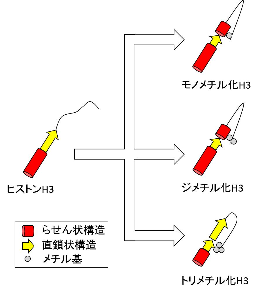 図4. メチル化による構造変化のイメージ図の画像
