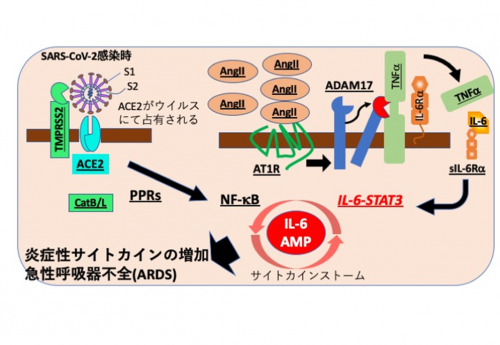 ストーム コロナ ウイルス サイトカイン 新型コロナ対策に役立つ?大正時代の日本人が世界一のウイルス耐性をもっていた本当の理由