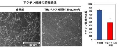 THzパルス光の照射によるアクチン繊維形成への影響