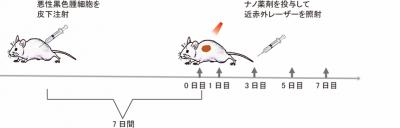 腫瘍モデルマウスを用いたBP@Cu@PEG-RGDによる光温熱治療実験