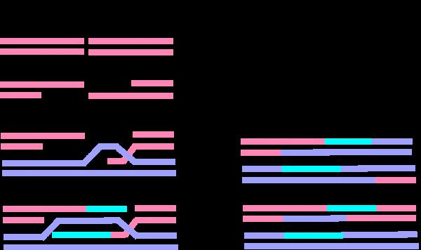 DNA相同組換によるDNA二重鎖切断の修復