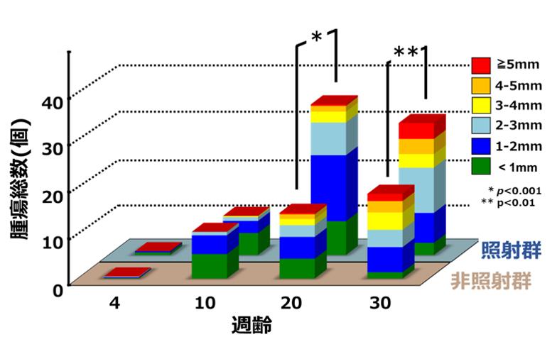 非照射群と照射群における腫瘍の数とサイズの経時的変化