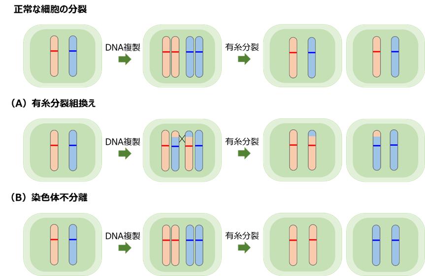 細胞が分裂する過程
