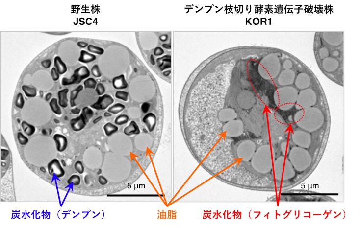 油脂生産性緑藻Chlamydomonas sp.の電子顕微鏡写真