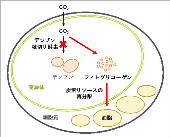デンプン枝切り酵素遺伝子が破壊された微細藻類における油脂生産モデル