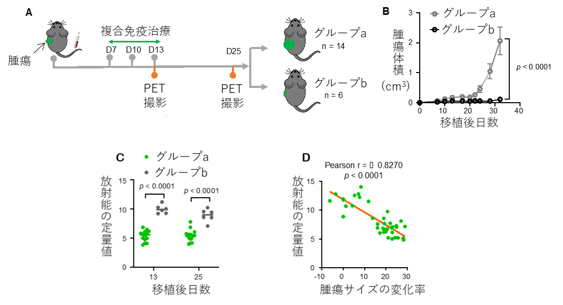 複合免疫治療とPET撮影スケジュール(A)、移植後の腫瘍の成長曲線(B)、治療効果が異なる両群の腸間膜リンパ節における放射能の定量値(C)、腸管膜リンパ節における放射能の定量値と腫瘍サイズの変化比率との相関(D)