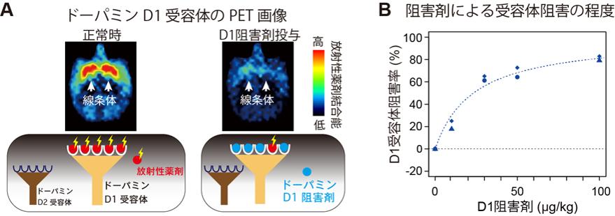 PETによるドーパミン受容体の計測と受容体阻害率