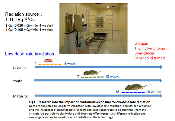 Research on the effect of low dose-rate radiation exposure through animal experiments photo